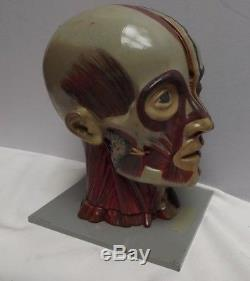 HEAD Anatomical Model C1930 Composite Hand Painted Original condition